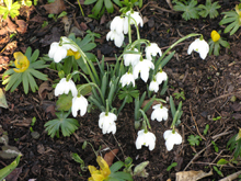 Snowdrops, Hodsock Priory
