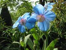 Meconopsis (Blue Poppies)