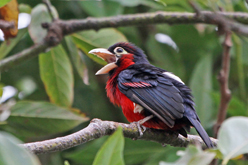 Doubled-toothed Barbet