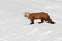MB13 : American Marten, Canada March 2014 - Photo © Mike Bailey