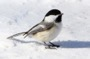 MB15 : Black-capped Chickadee, Canada March 2014 - Photo © Mike Bailey