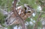 MB20 : Northern Saw-whet Owl, Canada March 2014 - Photo © Mike Bailey