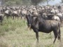 MB35 : Wildebeest migration, Southern Serengeti, Tanzania - Photo © Dean Cowell
