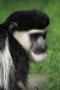 MB5 : Eastern Black & White Colobus, Ethiopia March 2013 - Photo © Mike Bailey