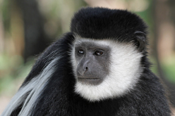 Easter Colobus