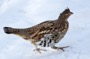 MB8 : Ruffed Grouse, Canada March 2014 - Photo © Mike Bailey