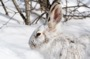 MB9 : Snowshoe Hare, Canada 2014 - Photo © Mike Bailey